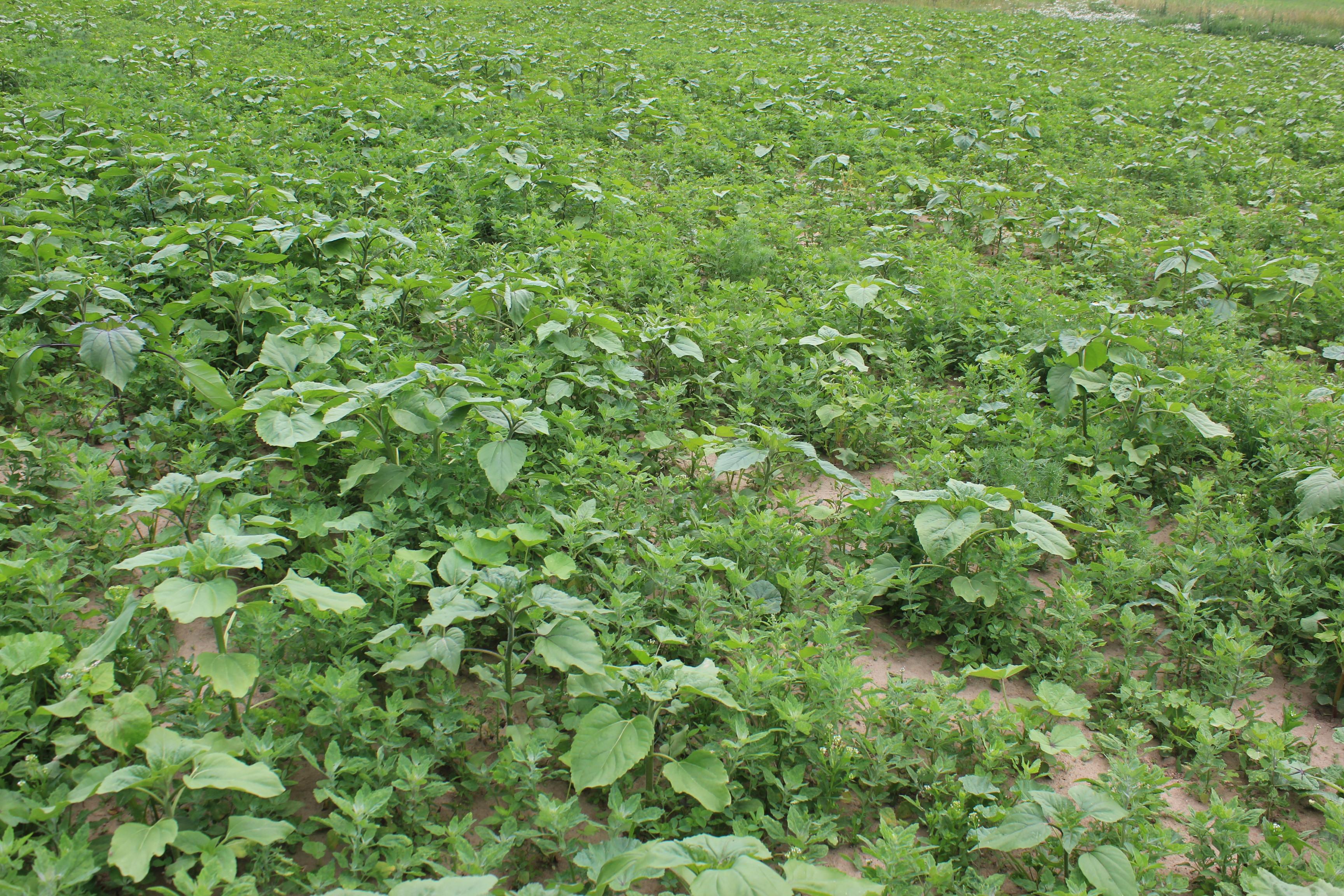 Etablierter Bestand der Wildpflanzenmischung.