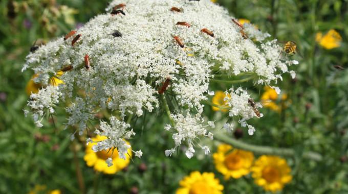 Vorgestellt: Blühende Biomasse als ertragreiche Alternative