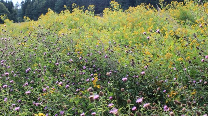 Wildpflanzen erhöhen Ertrag im benachbartem Acker