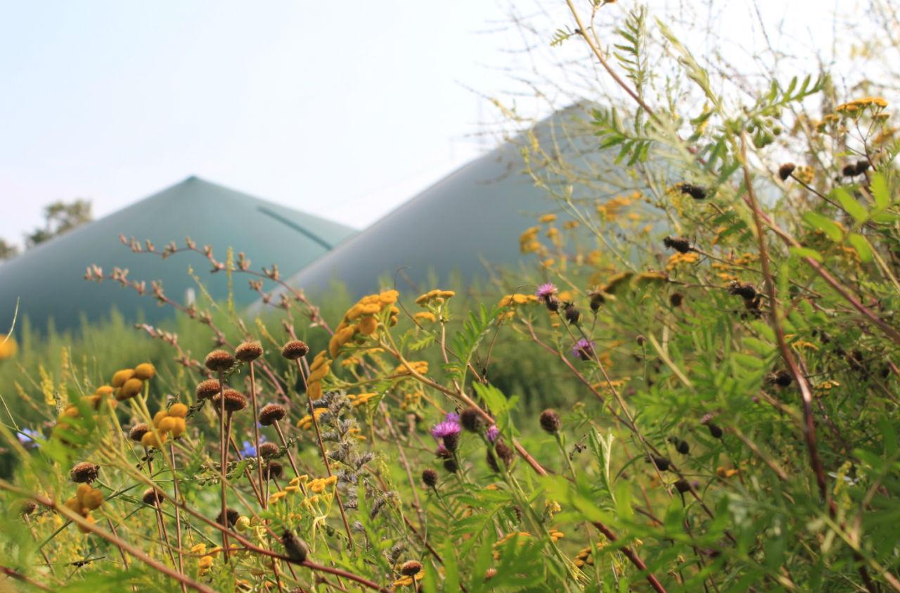 Energie aus Wildpflanzen-erste Ergebnisse aus dem Projekt GrünSchatz