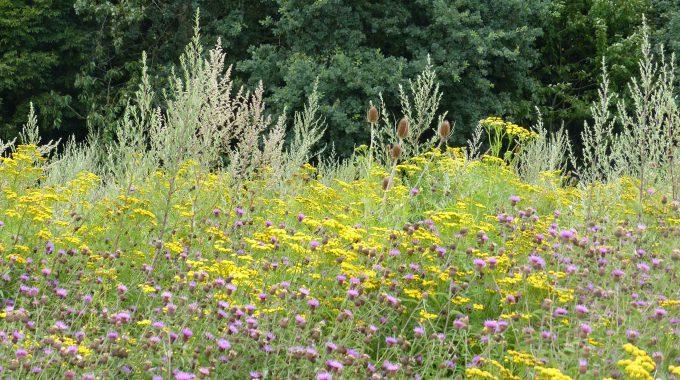 Wildpflanzenerträge Verbessern – BMEL Fördert Züchtungsprojekt