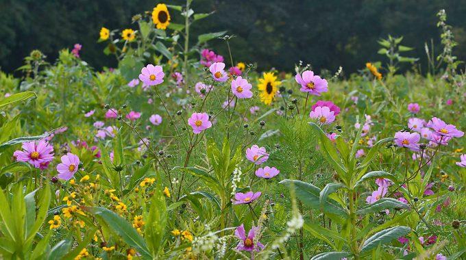 Blühflächen Als Ausgleichsmaßnahme Für Leitungsbauvorhaben